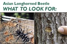 Asian Longhorned Beetle - What to Look For