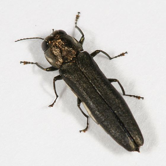 Bronze Birch Beetle
